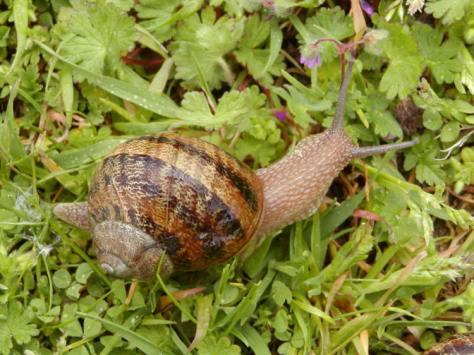 snailhelixaspersa