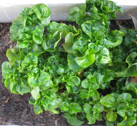 Brazilian spinach