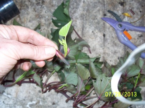 Propagation material divided into cuttings.