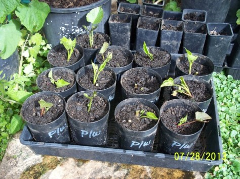 Cuttings potted up.