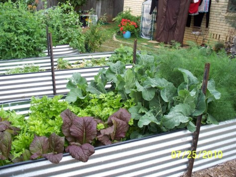 25.07.2010 brassicas, celery, fennel, mustard greens