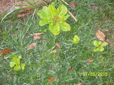 05.07.15 lettuce in the lawn